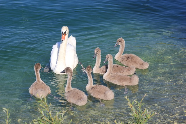Seven Swans A'Swimming